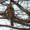 Sharp-shinned Hawk(Juvenile)