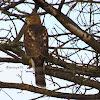 Sharp-shinned Hawk(Juvenile)