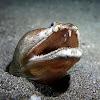 Crocodile Snake Eel