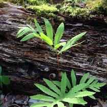 Non-flowering Plants of North America