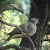 Spotted Turtle Dove