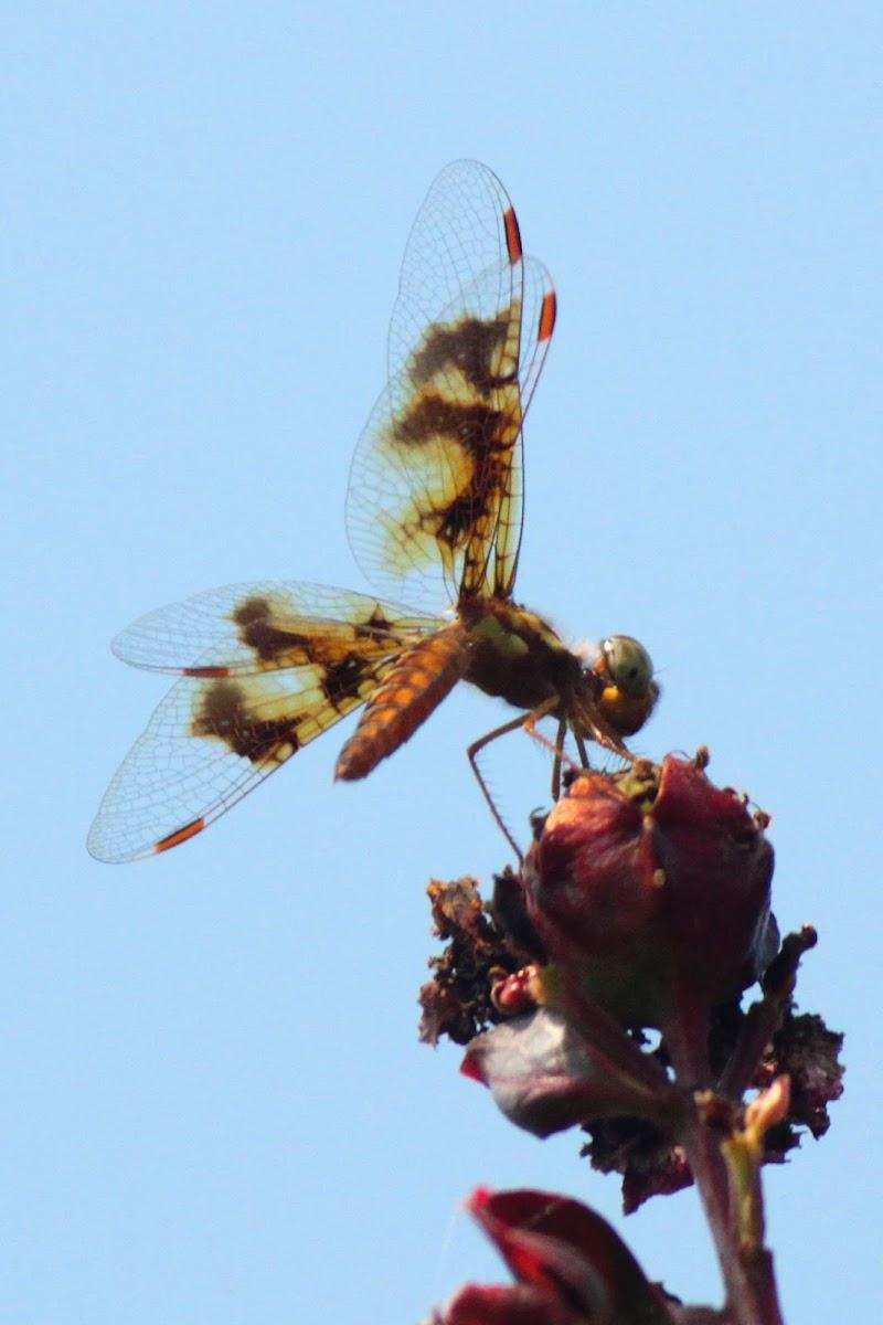 Eastern Amberwing