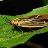 Zygaenid Day-flying Moth, female