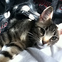 Tabby and American shorthair mix