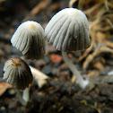 Fairy's Bonnets
