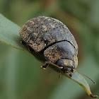 Gum Nut Leaf Beetle
