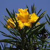 Giant Thevetia or Large-flowered Yellow Oleander