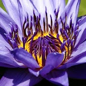 Water lily Picture Book