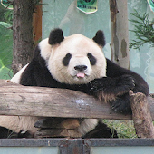 China Panda Wallpaper