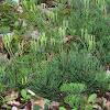 Slender Ground-cedar