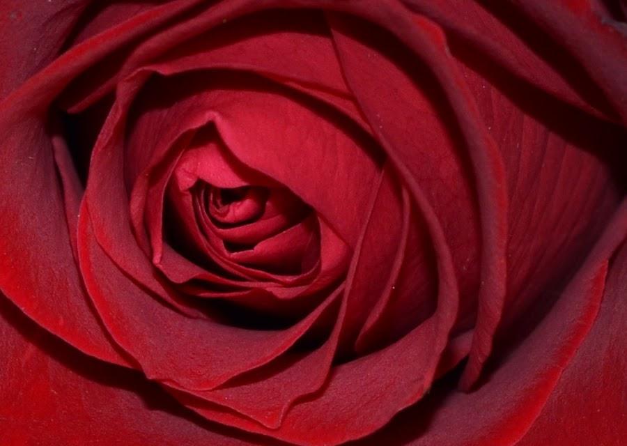 macro rose by Marie Leather - Flowers Single Flower (  )