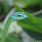 Golden-eyed Parrot Snake