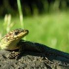Lagartija (Jewel Lizard)