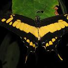 Thoas Swallowtail or King Swallowtail
