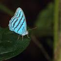 Cephus blue ringlet
