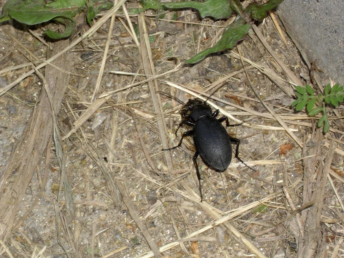 Magyar futrinka-Ground beetles