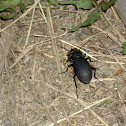 Magyar futrinka-Ground beetles