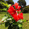 Pagoda hibiscus