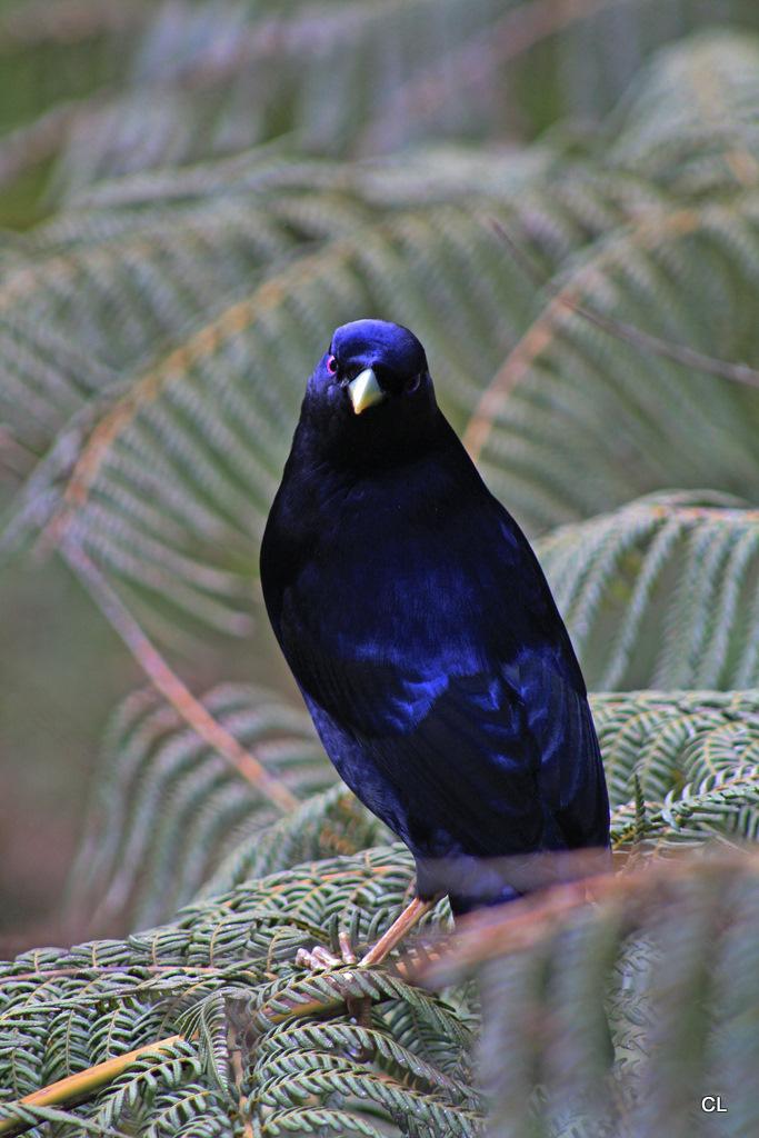Satin Bowerbird ( MALE / FEMALE )