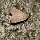 armyworm (Noctuid moth)
