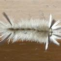 Banded Tussock Moth