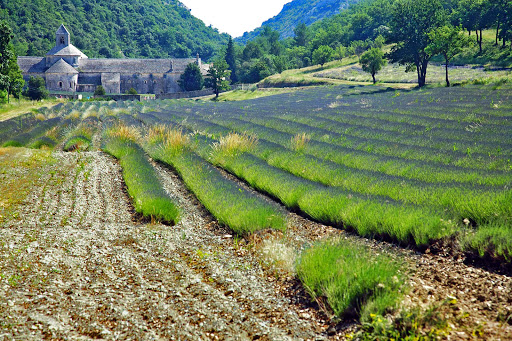 Provence-lavendar-fields - A shot of the iconic lavender fields in Provence, in the South of France.