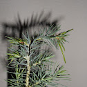 Piñon Pine (sapling)