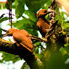 Rufous Woodpeckers