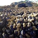 Leaf barnacle