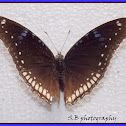Great Eggfly - female