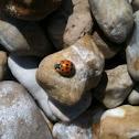 Harlequin ladybird, Asian lady beetle or Japanese ladybug