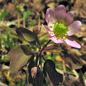 Rue-anemone