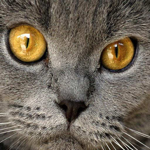 英國短毛貓拼圖 LOGO-APP點子