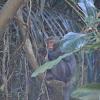 臺灣獼猴 / Formosan macaque / Formosan rock-monkey
