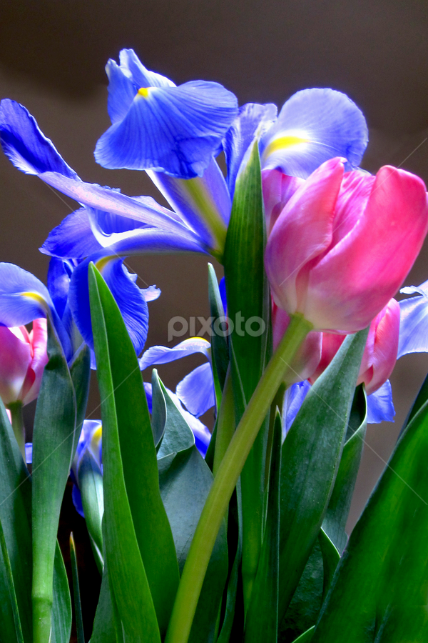 Gift of Spring by Jane Spencer - Flowers Flower Arangements ( perennial, iris, tulips, hardy, spring,  )