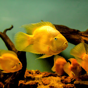 """""""Love your pets unconditionally - for you are their god.""""  by Manoj Swaminathan - Animals Fish ( fish tank, fish, aquarium, gold, gold fish,  )"""