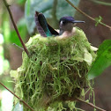 Violet-headed Hummingbird at nest