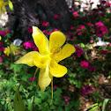 Yellow columbine