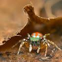 Siler semiglaucus Male