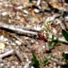 Verilude (Scentless True Bug)