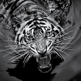 by Robert Cinega - Black & White Animals ( tiger carnivora bw, black and white, animal )