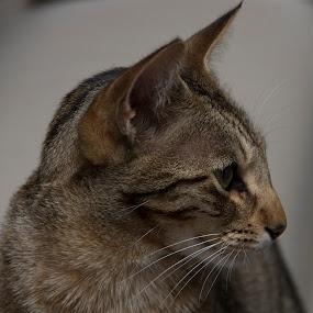 Bengal in profile by Ian Thompson - Animals - Cats Portraits ( animal portrait, cat, bengal cat, green eyes, feline, bengal, close up, portrait, domestic cat, animal )