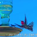 Anna's Hummingbird, male
