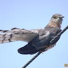 Common Hawk Cuckoo