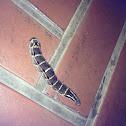 Impatiens Hawk Moth (Caterpillar)