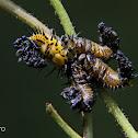 Tortoise beetle larvae