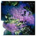 purple encrusting sponge