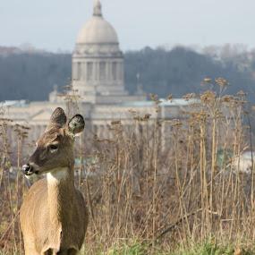 Kentucky by Andy Bond - Animals Other Mammals ( state, doe, capitol building, capital, mammal, animal, deer, kentucky )