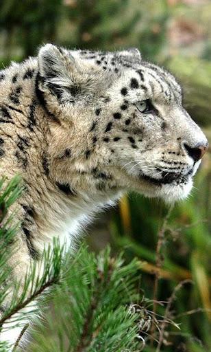 Snow Leopard Sounds LWP