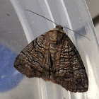 Dysbatus Moth